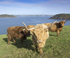 Highland Cattle, Cork Harbour.