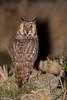 BUFO-PEQUENO | LONG-EARED OWL (Asio otus) by Carlos Patrício