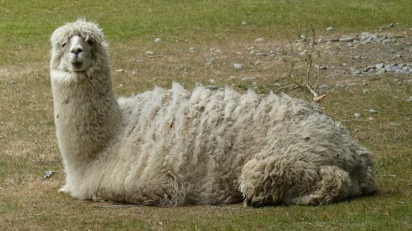 Encore des lamas !