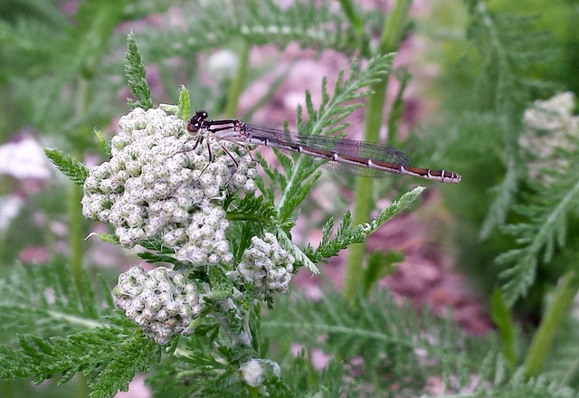 brown damselfly perched on yarrow buds with its head pointing to the left