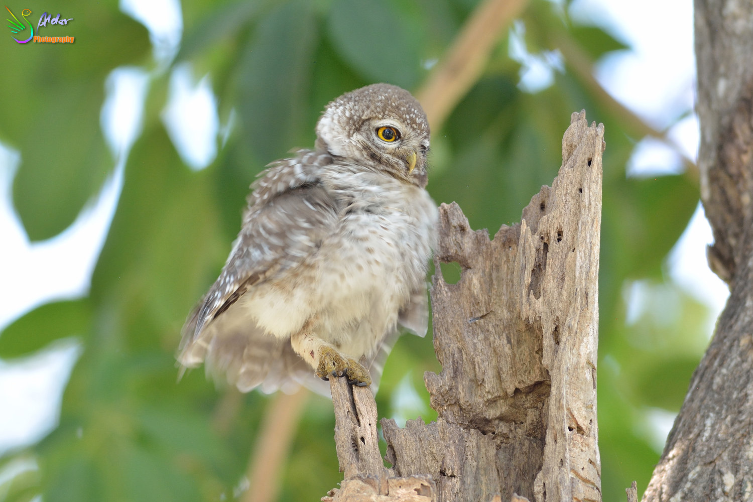 Spotted_Owlet_2988