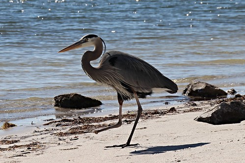 IMG_6979_Great_Blue_Heron_Missing_Right_Foot_at_Howard_Beach