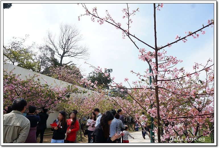 麗池公園河津櫻 (11)