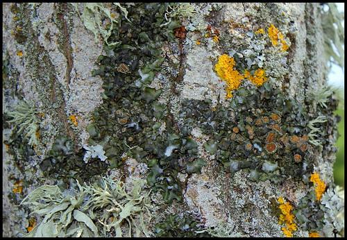 Parmelia acetabulum 25242657409_1845fc6852