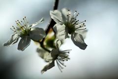 cherry blossom, Kirschblüte
