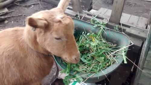 goats Apr 16 2