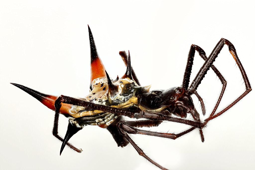 Micrathena schreibersi, Spider from Barro. Panama, Colorado Island, Spider