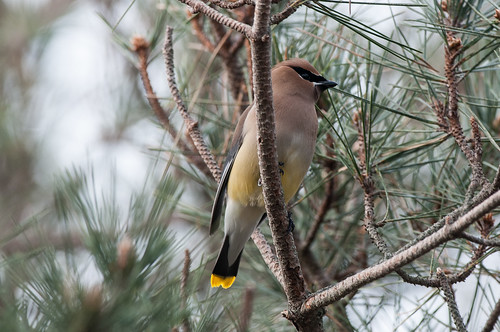 Masked Waxwings