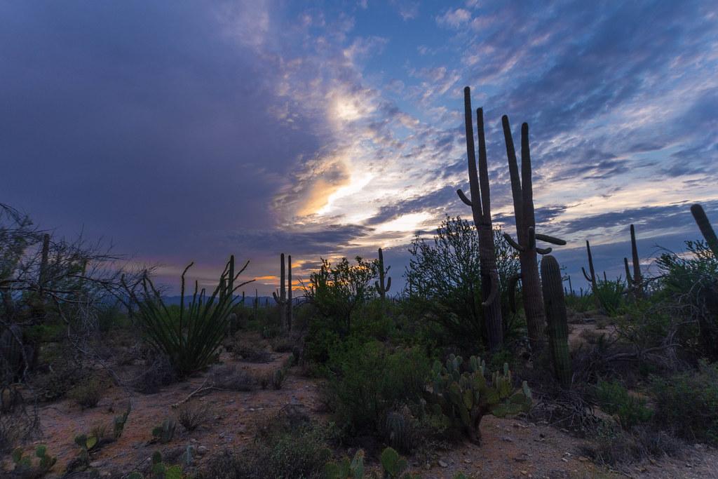 Saguaro-6