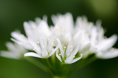Ramsons (Allium ursinum) close-up of flowers