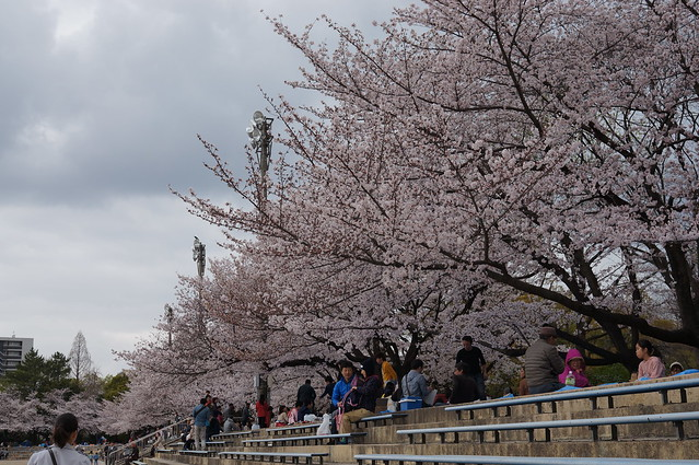 CherryBlossoms_210