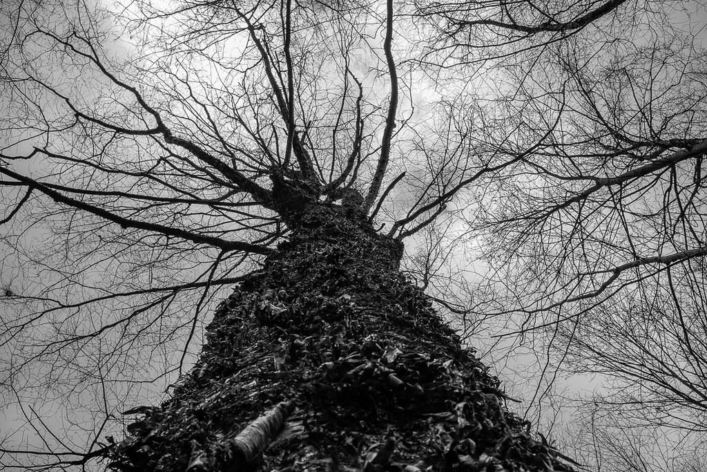 Exfoliating birch