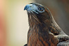 Chaco, Red-tailed Hawk, Rufous Morph