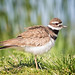 Ruffly-feathered Killdeer