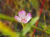 Presidio clarkia (endangered), Serpentine Prairie, Redwood Regional Park, Oakland, CA, 1MAY2016