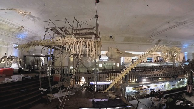 擱淺抹香鯨被製成標本。導演:簡毓群。圖片來源:我們的島。