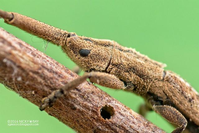Longhorn beetle (Tetraglenes sp.) - DSC_1540b