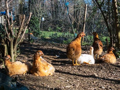Young chickens (born 9 Nov 2015)