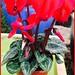 Cyclamen —Brian Wheat, AAF, PFCI, of Lafayette Florist, Gift Shop & Garden Center in Lafayette, Colorado