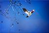 Red-headed Woodpecker in Flight II