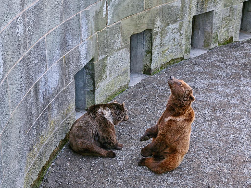 Gli orsi di Berna
