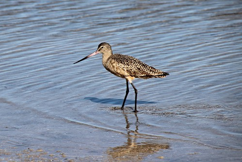 IMG_7065_Marbled_Godwit_at_Howard_Beach