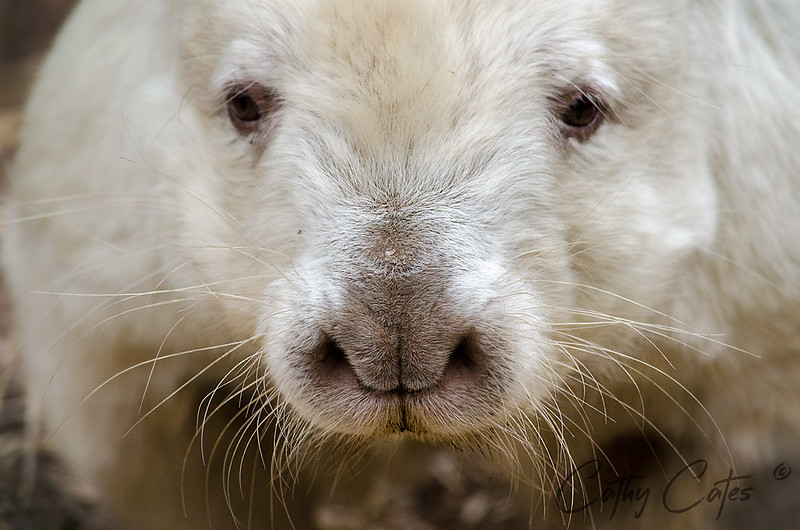 Hairy Nose Wombat