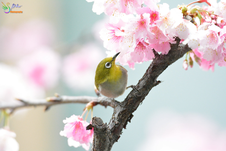 Sakura_White-eye_8209