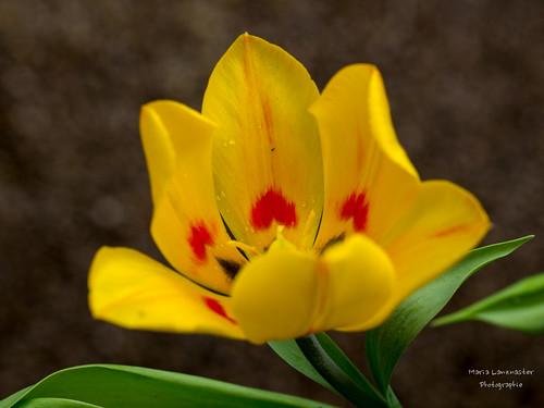 Tulpe mit Herz