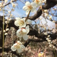 ume in full bloom❤︎  #ume #osakacastle #osaka #japan #梅林 #大阪城 #大阪