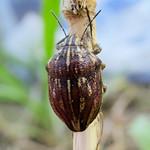 tarka pajzsospoloska - Odontotarsus purpureolineatus