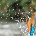 Kingfisher by John Ambler