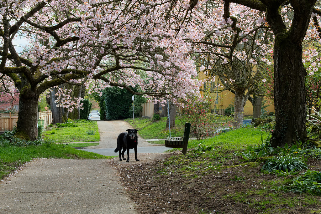Our dog Ellie poses under the cherry blossoms on Klickitat Street