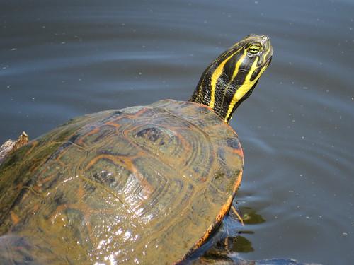 Turtle at McAlpine Creek Park