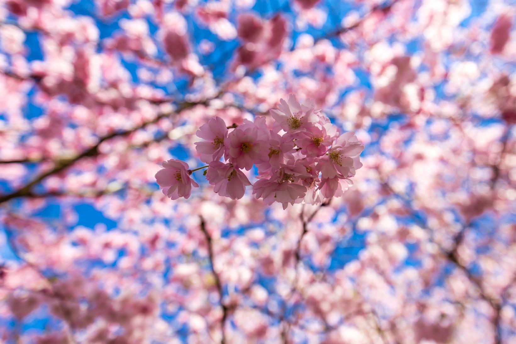 Bispebjerg Sakura-3377