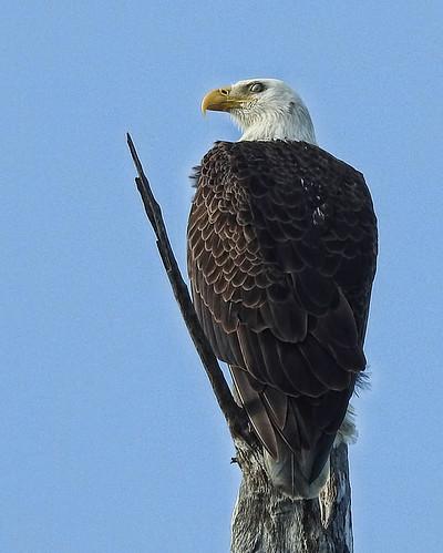 FL: Bald Eagle at Dump Marsh