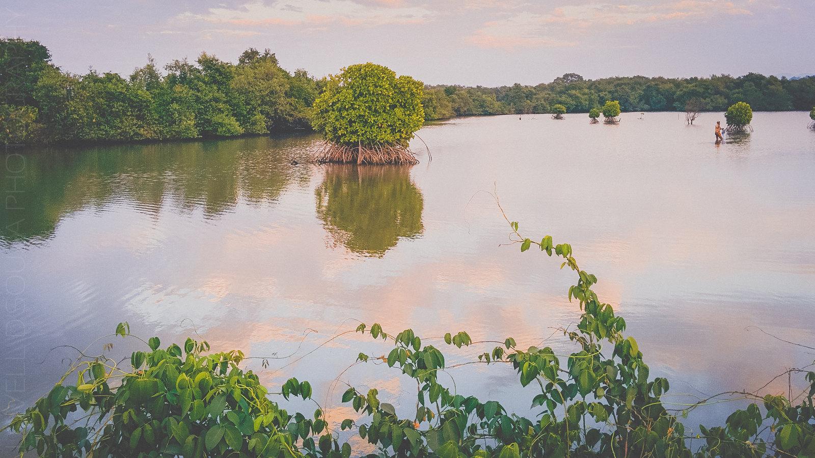 Mangroves at Divar