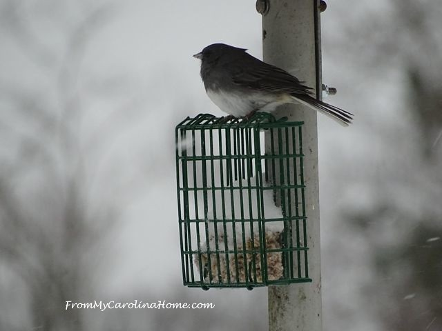 January 2016 Snow birds junco fluffed