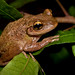 Cuban Treefrog by Nick Scobel