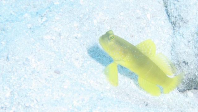浅場にはギンガハゼの幼魚がいっぱい♪