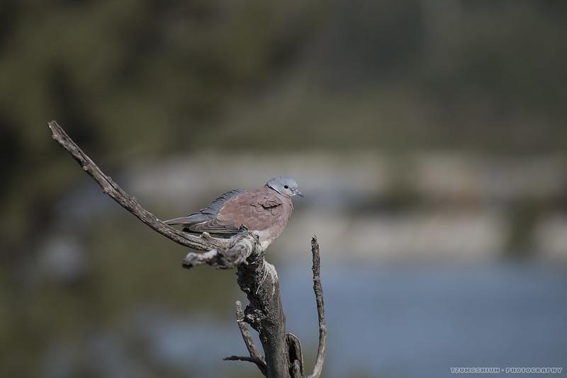 紅鳩 Streptopelia tranquebarica@鰲鼓溼地