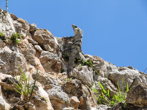 Uxmal: un iguane sur un mur du Quadrilatère des Nonnes
