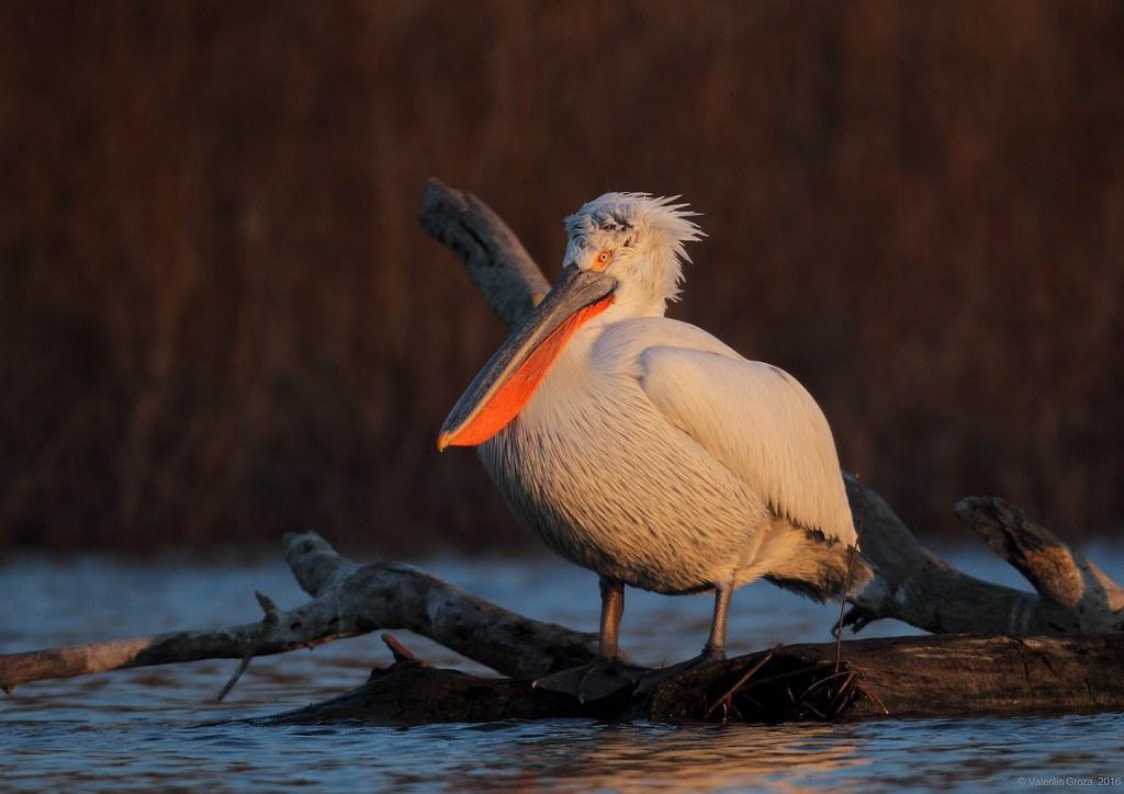 08_pelican cret 003