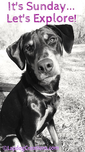 It's Sunday... Let's Explore! - Penny #dobermanmix #rescueddogs #adoptdontshop #BlackandWhiteSunday #LapdogCreations ©LapdogCreations