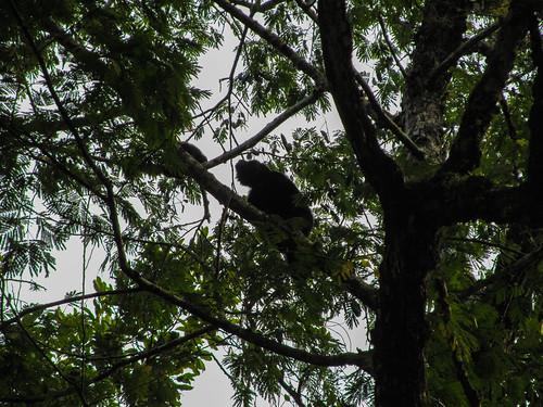 Tikal: un singe hurleur qui hurle, c'est pas commode !