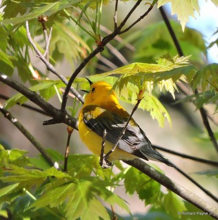 Prothonotary Warbler_N8997