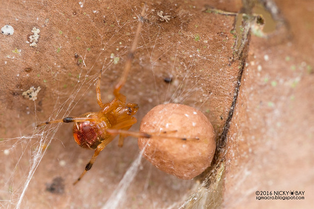 Comb-footed spider (Parasteatoda sp.) - DSC_8051