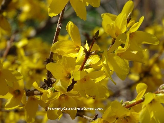 April Forsythia 1