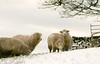 Happy sheep in warm wooley jumpers
