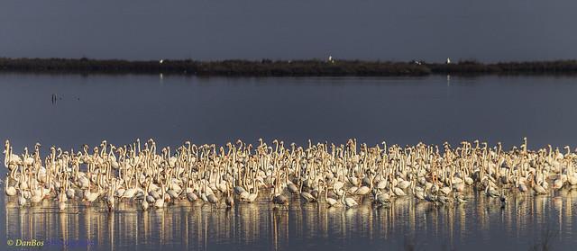 Flamencos (Phoenicopterus Linnaeus) in the Comacchio Lagoon